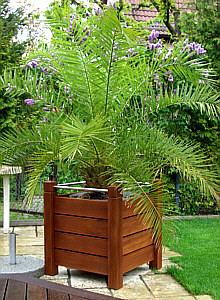 Bangkirai palme